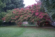 7-21-2017 crepe myrtle 57703 - Version 2