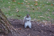 fall-2013-princeton-squirrel